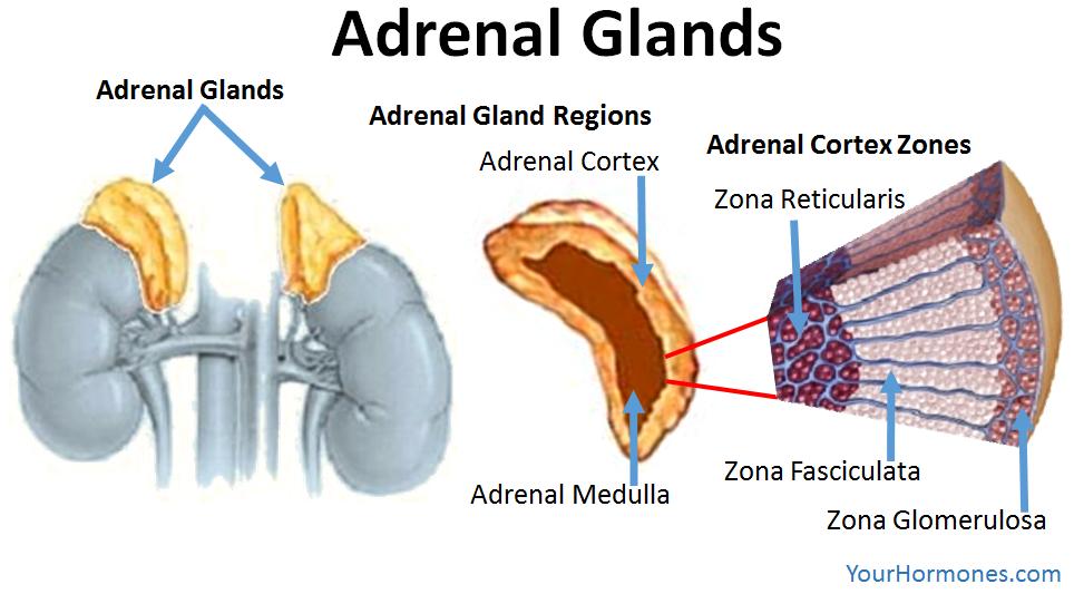 Adrenal Gland Definition Anatomy Amp Function Mandegarfo