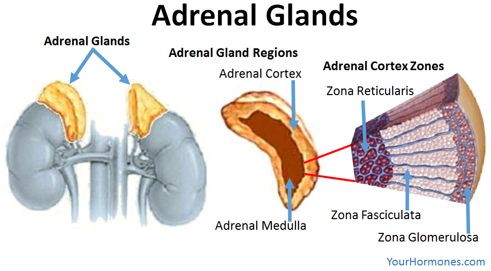 Your adrenal glands & parts of the adrenal glands | Your Hormone