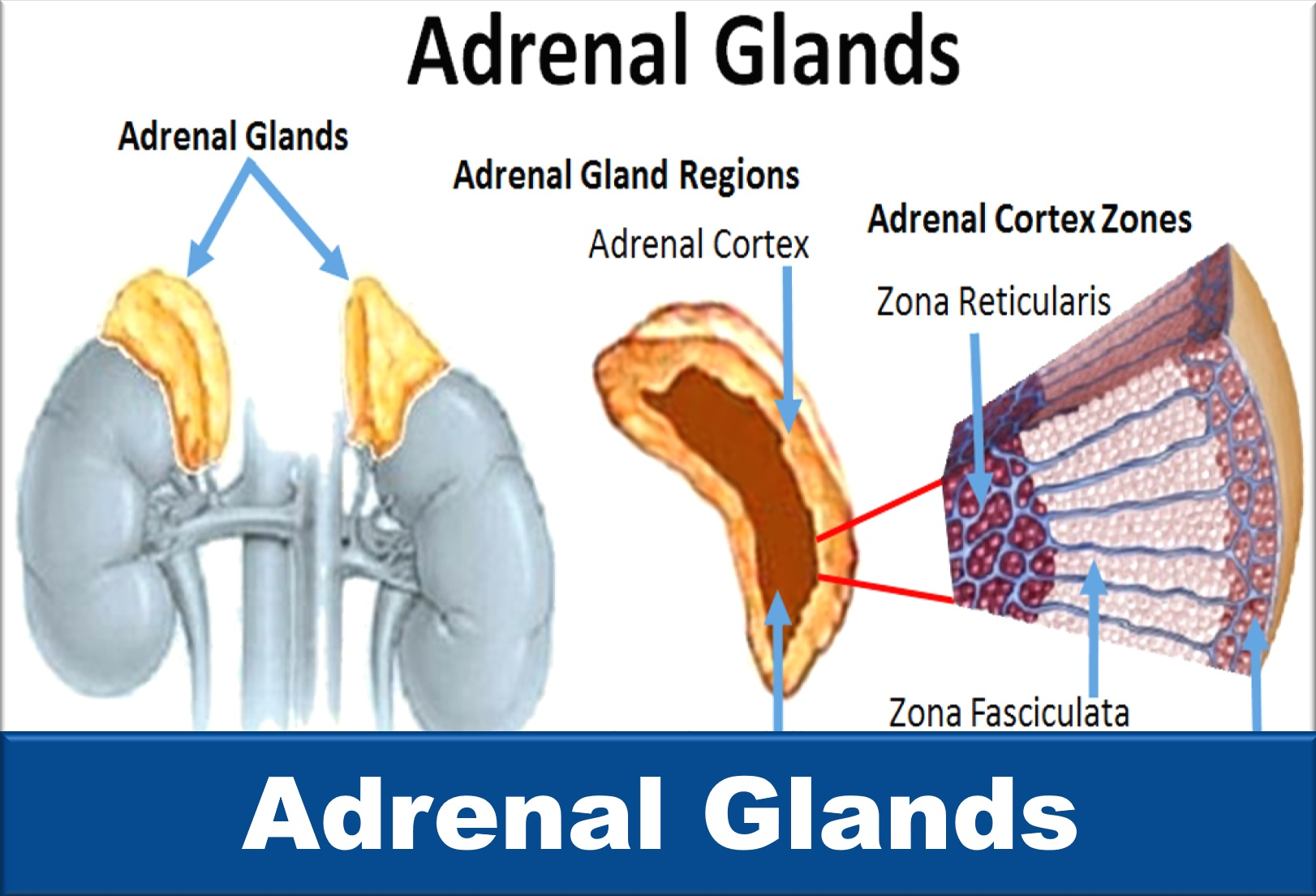 Learn about your adrenal glands